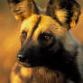 Lycaon_pictus_-_Wild_Dog_-_endangered_species_-_RSA
