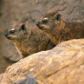 Procavia_capensis_-_Rock_Dassies_-_RSA